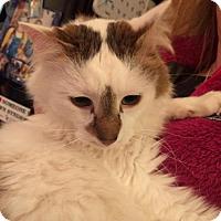 Adopt A Pet :: Marmalade - Denver, CO