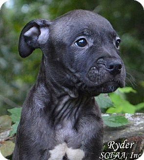 American Staffordshire Terrier Mix Puppy for adoption in Lake Pansoffkee, Florida - Ryder