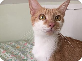 Domestic Shorthair Cat for adoption in Newtown Square, Pennsylvania - Bonnie
