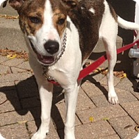 Terrier (Unknown Type, Medium)/Hound (Unknown Type) Mix Puppy for adoption in Mt. Prospect, Illinois - Madeline