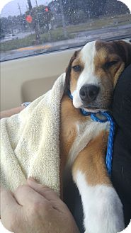 Beagle Mix Puppy for adoption in Jacksonville, Florida - Baxter