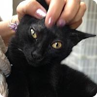 Adopt A Pet :: Nod: Gorgeous Adorable Bombay Mix Kitten - Brooklyn, NY