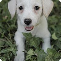 Adopt A Pet :: Picasso - Mona Lisa Pup - Encino, CA