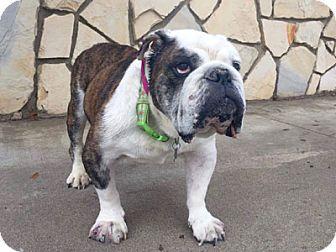 English Bulldog Dog for adoption in Pacific Grove, California - Memphis