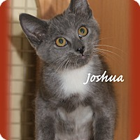Domestic Shorthair Kitten for adoption in Waterbury, Connecticut - Joshua