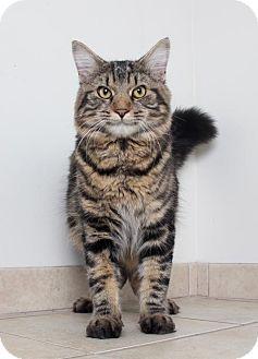Maine Coon Cat for adoption in Edina, Minnesota - Henry C160386: PENDING ADOPTION