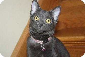 Domestic Shorthair Kitten for adoption in Millersville, Maryland - Mollie