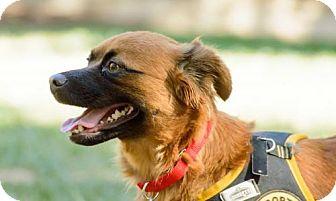 Pomeranian/Shar Pei Mix Dog for adoption in Washington, D.C. - Janice (Has Application)