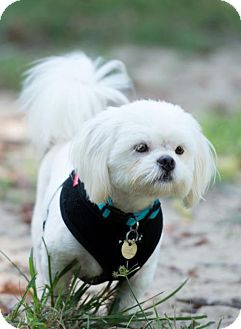 Shih Tzu Dog for adoption in Tallahassee, Florida - Junior - ADOPTED