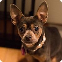 Adopt A Pet :: Lilly - New York, NY