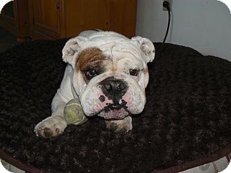 English Bulldog Dog for adoption in San Diego, California - Walter