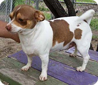 Rat Terrier Dog for adoption in Seguin, Texas - Cruz