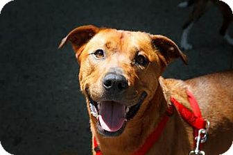 German Shepherd Dog/Pit Bull Terrier Mix Dog for adoption in Queens, New York - King