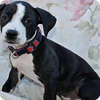 Adopt A Pet :: Bobbie - Redondo Beach, CA