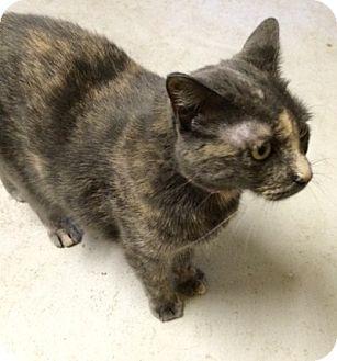 Domestic Shorthair Cat for adoption in Warrenton, Missouri - Holly
