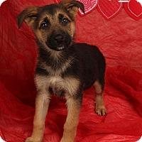 Adopt A Pet :: Desilou Shepherd - St. Louis, MO