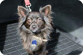 Pomeranian/Papillon Mix Dog for adoption in Fountain Valley, California - BamBam