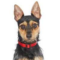 Adopt A Pet :: Victor - Los Angeles, CA