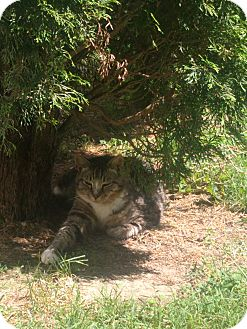 Domestic Shorthair Cat for adoption in Wilmington, Ohio - Boris - Courtesy Listing