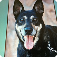 German Shepherd Dog Dog for adoption in Los Angeles, California - LOBA VON LOWENSTEIN