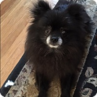 Adopt A Pet :: Callie - Bellingham, WA