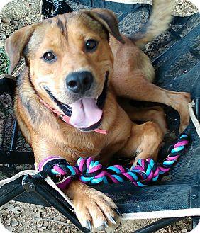 Shepherd (Unknown Type)/Labrador Retriever Mix Dog for adoption in Glastonbury, Connecticut - UConn Buddy