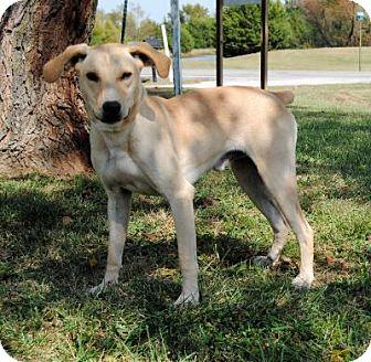 Vizsla Mix Dog for adoption in Parsons, Kansas - Hunter