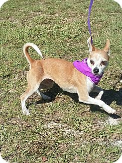Chihuahua Mix Dog for adoption in Carthage, North Carolina - Kissame