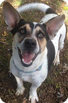 Corgi Mix Dog for adoption in South Park, Pennsylvania - Jack