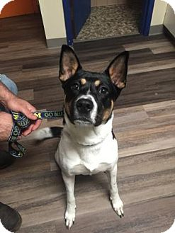 Australian Cattle Dog Mix Dog for adoption in Adrian, Michigan - Diesel