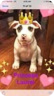 Jack Russell Terrier Mix Puppy for adoption in Rockville, Maryland - Baby Laurel