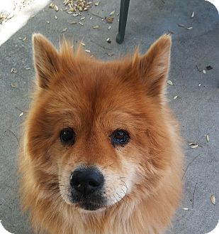 Chow Chow Dog for adoption in San Diego, California - Tommy
