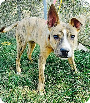 Carolina Dog/Mountain Cur Mix Dog for adoption in Goodlettsville, Tennessee - Kiko