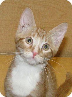 Domestic Shorthair Kitten for adoption in Tulsa, Oklahoma - Remember