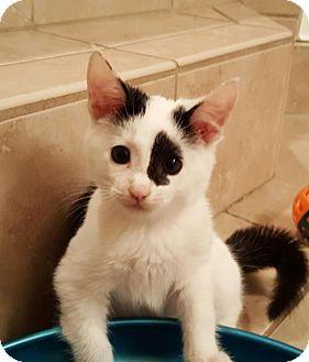 Domestic Mediumhair Kitten for adoption in Savannah, Georgia - Mahi