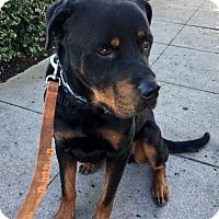 Rottweiler Dog for adoption in Newport Beach, California - Jefferson