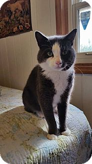 Domestic Shorthair Cat for adoption in Charlotte, North Carolina - Bentley