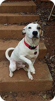 Pointer/Bull Terrier Mix Dog for adoption in West Springfield, Massachusetts - Bert