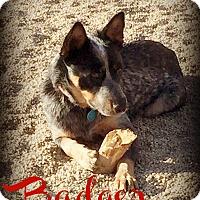 Adopt A Pet :: BADGER - Phoenix, AZ