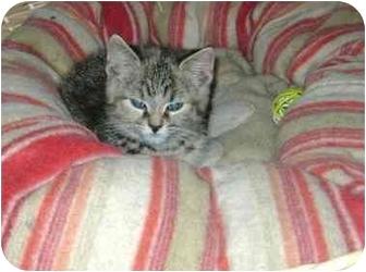 Domestic Shorthair Kitten for adoption in Etobicoke, Ontario - tabby girl