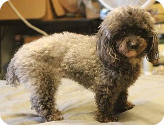 Poodle (Miniature) Dog for adoption in Hutchinson, Kansas - Allie