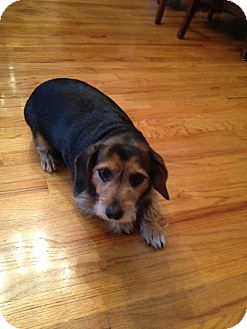 Dachshund/Terrier (Unknown Type, Small) Mix Dog for adoption in Richmond, Virginia - Peanut