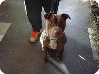 Pit Bull Terrier Mix Dog for adoption in Clinton, Maine - Champ