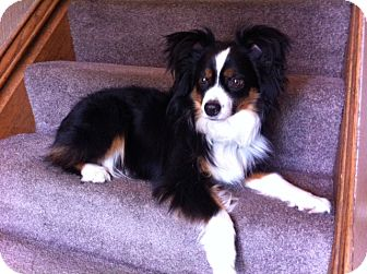 Australian Shepherd Dog for adoption in Elk River, Minnesota - Murphy