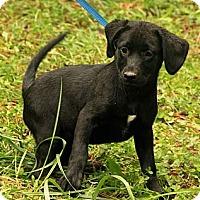 Adopt A Pet :: Sara Lee ($50.00 OFF) - Brattleboro, VT