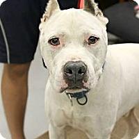 Adopt A Pet :: Pokey - Phoenix, AZ