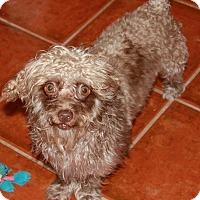 Adopt A Pet :: Zachary - Gilbert, AZ