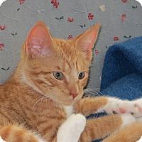 Adopt A Pet :: Pippen - Portland, ME