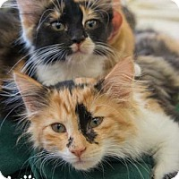 Adopt A Pet :: Sienna - Merrifield, VA