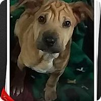 Adopt A Pet :: Darth - Mesa, AZ